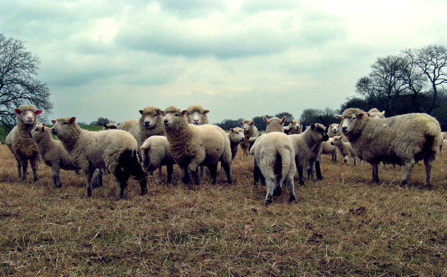 Wednesday February 27th (2008) field of sheep