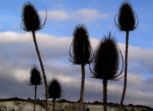 Monday January 23rd (2006) teasels