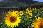 28th: sunflowers in the cuckmere valley