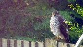 27th: sparrowhawk (2)