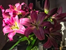 7th: lilies from tesco