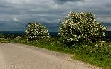 Mon 30th<br/>two hawthorn bushes