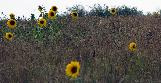 14th: sparse sunflowers