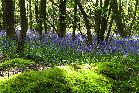 9th: bluebells and moss