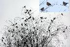 8th: tree full of fieldfares