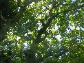 Thu 19th<br/>oak canopy