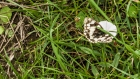 24th: marbled white on convolvulus